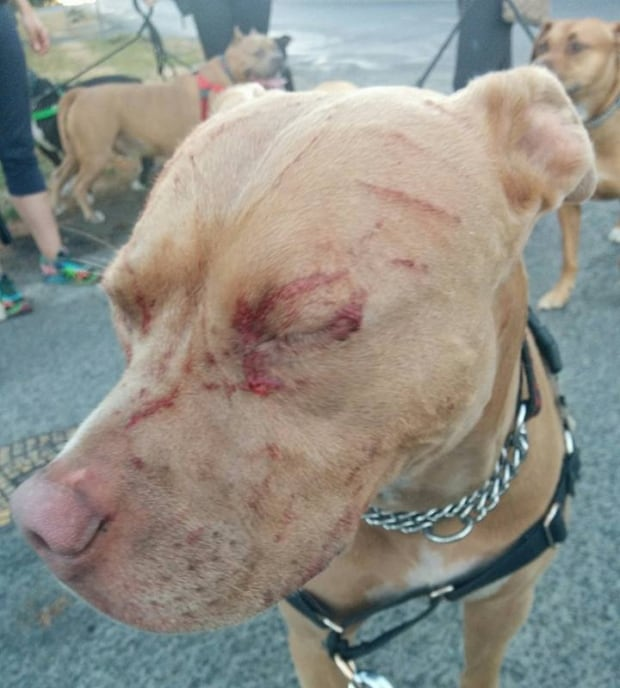 Pitbull attacks on owners
