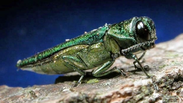 Natural Emerald ash borers, native to China, were accidentally introduced to North America two decades ago, likely through unsecured shipping crates involved with international trading.