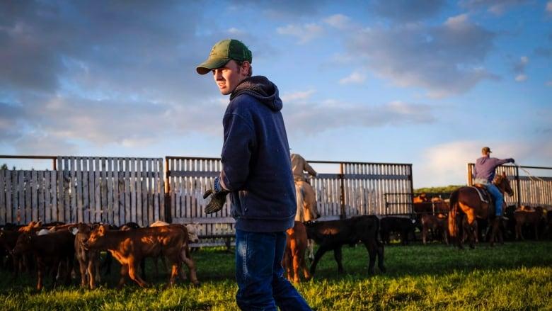 Alberta vet calls for reduction in livestock branding | CBC News