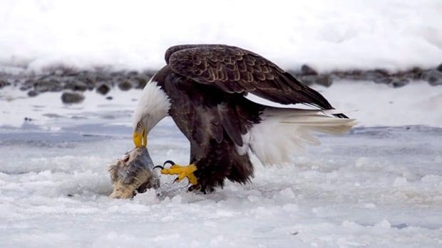 A bald eagle feeds on a salmon carcass in the Alaska Chilkat Bald Eagle Preserve outside Haines, Alaska. The preserve is about 10 miles downstream from a copper and zinc prospect that could someday be developed into a hard rock mine.
