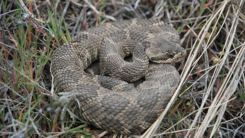 What keeps rattlesnakes away