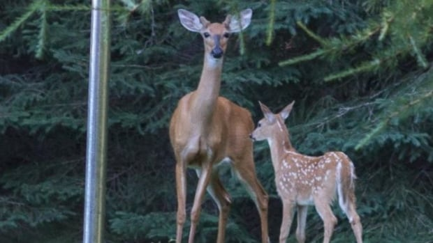 Doe-Deer-Med-Antlers-And-Fawnjpg-6486