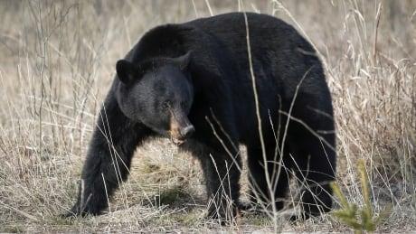 Black Bear 20140507