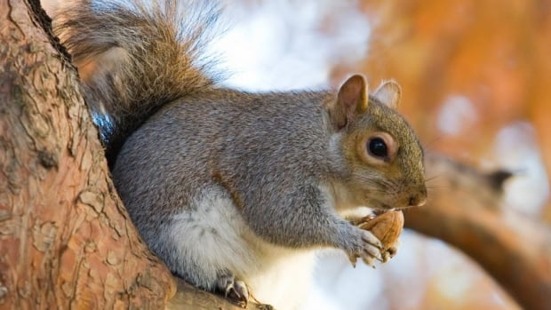Squirrels can be hard for homeowners to get rid of, says one University of Manitoba expert.