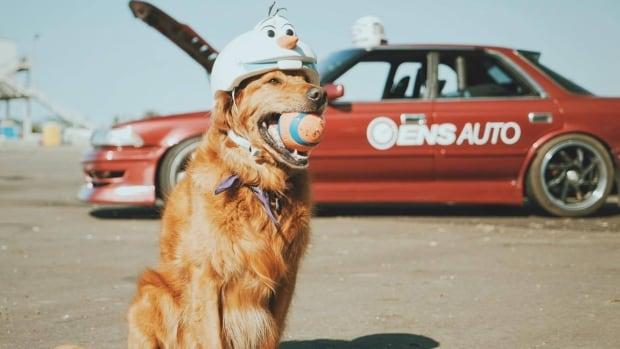 Golden Retriever Jett The Drift Dog Hits The Racetrack In Viral