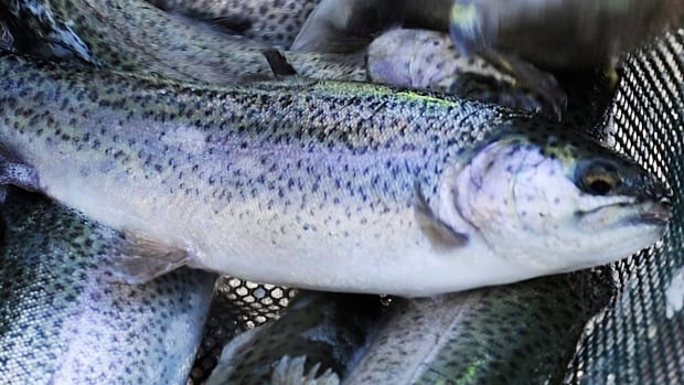 The CFIA has declared the Bow River watershed infected with whirling disease.