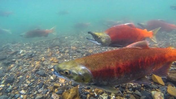 Kootenay Lake fishery in peril, B.C. Wildlife Federation says