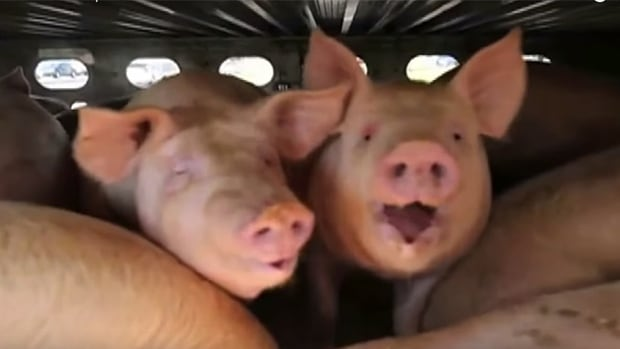 Armaiti May use this screenshot from a Toronto Pig Save video to illustrate her point in court that the pigs appeared to be breathing as quickly as 180 breaths per minute.