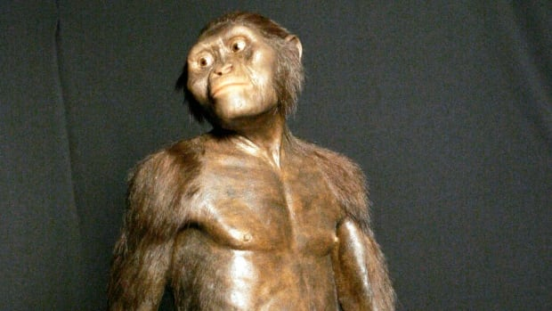 A 2007 image shows a three-dimensional model of the early human ancestor, Australopithecus afarensis, known as Lucy, on display at the Houston Museum of Natural Science. It's a scientific estimation of what Lucy may have looked like in life. A new study based on an analysis of Lucy's fossil by the University of Texas at Austin suggests she died after falling from a tree.