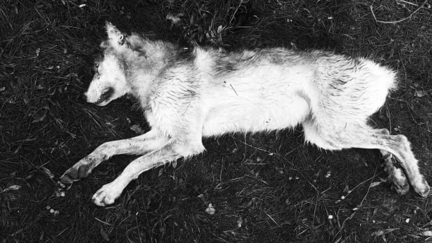 Andrew Stanley shot this young wolf after it attacked his dog during a remote camping trip in the N.W.T.'s Mackenzie Mountains. Stanley says he's never had an encounter with a wolf like this: 'I always thought they avoided humans and camps. I was wrong.'