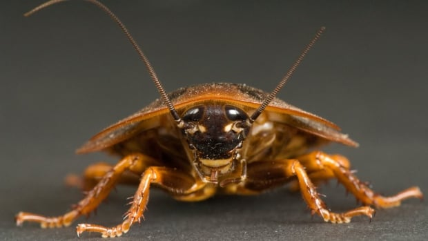 There are cockroach infestations at 15 OCDSB schools.
