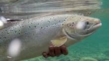 salmon nl