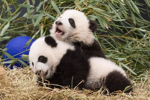 Toronto Zoo Pandas 20160307