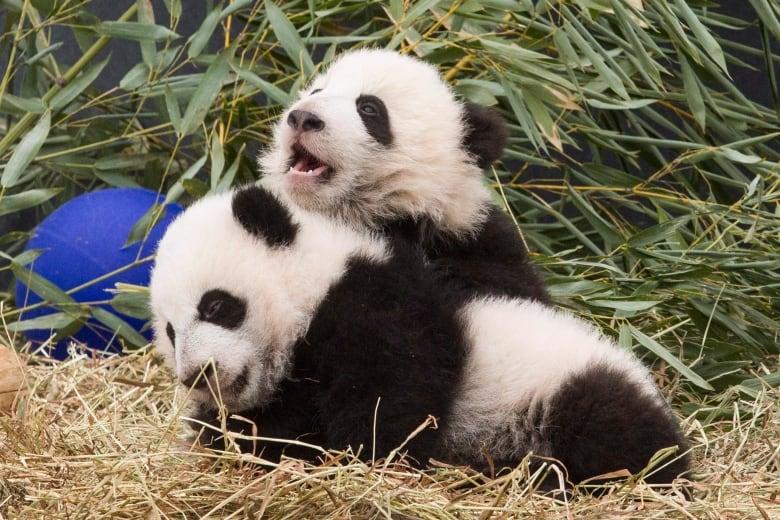 about panda bears