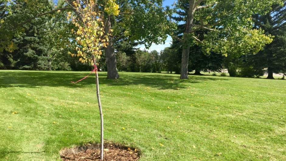 One of the successful plantings of a new tree in the Brentwood park.