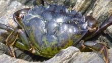Green Crab