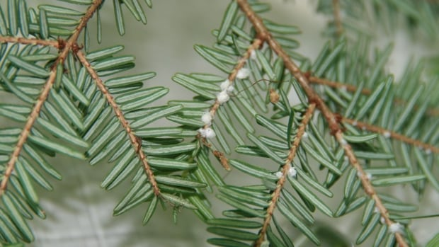 The hemlock woolly adelgid appears as white, woolly sacks on the base of needles of the hemlock tree.