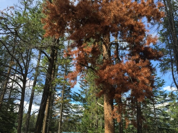 The tree shows all the signs of being attacked by the mountain pine beetle