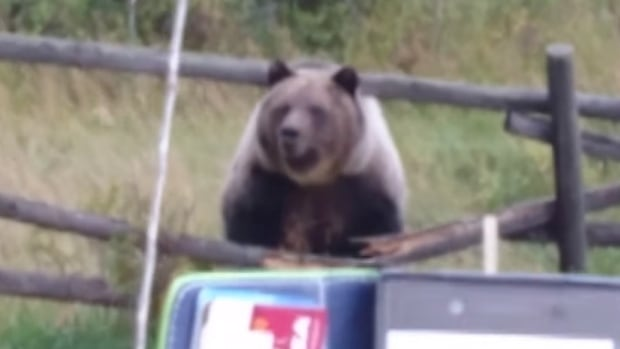 One of three grizzly bears enters a family's backyard in Pincher Creek, Alta., in this image from video. 'They weren't going to be told what to do and they weren't going to leave, they were going to stick around,' Keith Lang told CBC News.