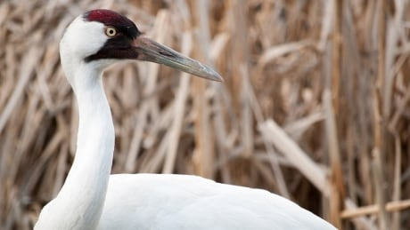 Calgary Zoo whooping cranes set to be released into the wild in Louisiana