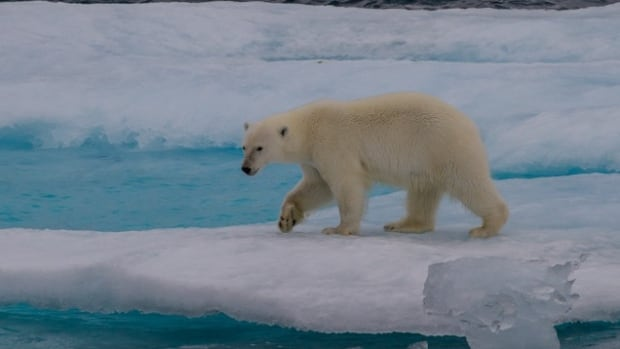 The image of the polar bear stranded on floating sea ice has become an iconic symbol of global warming, but other animals and plants have also been affected by the loss of important ice roads.