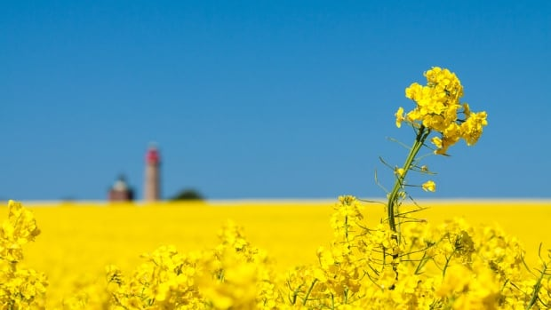 If Bayer buys Monsanto, farmers in Manitoba could be left paying higher prices for canola seed, says University of Manitoba Prof. Derek Brewin.