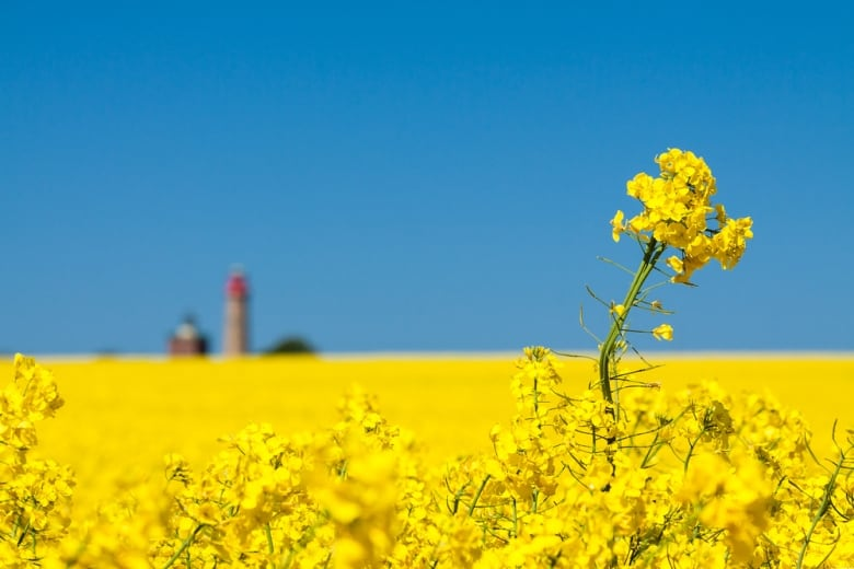 Canola growers caught in middle as Canada-China relations sour