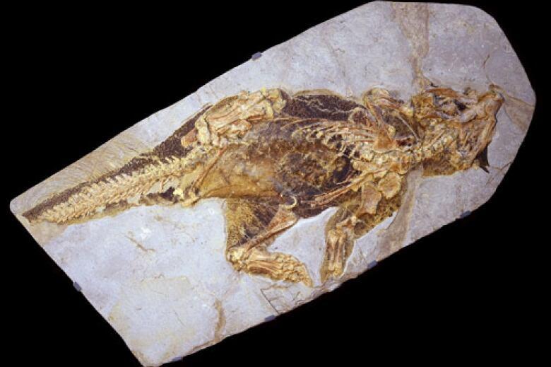 Scientists decipher colour of 'super cute' bristly dinosaur, Psittacosaurus