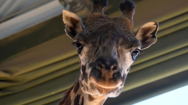 The male calf was born to this Masai giraffe, named Emara, that came to the Calgary Zoo from the San Diego Zoo to take part in a breeding program as part of the Species Survival Plan.
