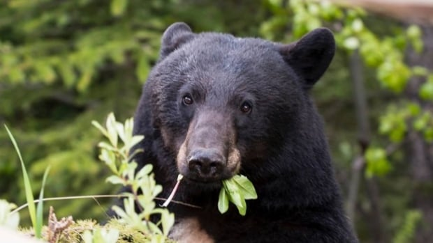 This photo taken in Yoho National Park, near Takakkaw Falls in 2013, depicts a black bear. Toronto police shot and killed a black bear early Saturday in a Scarborough backyard.