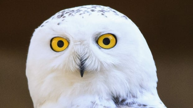 A snowy owl that was rescued and treated looks on at Baveheart Raptor Rehabilitation Center in Twin Lake, Mich. The young, male snowy owl will soon make his return to the wild after recovering at the centre.