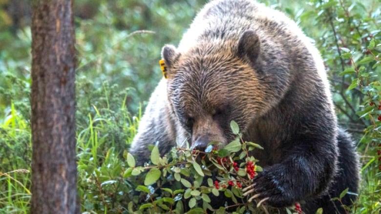 Bears Gallery | Disneynature  |Brown Bear Food