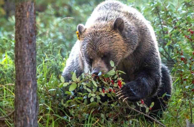 Grizzly bear buffaloberry bush