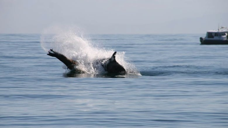 A killer whale and Steller sea lion engage in a life-and ...