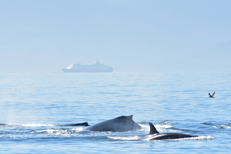 Humpbacks fight off orcas to save sea lion in maritime battle royale
