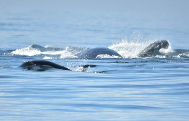 Humpbacks v. Bigg's killer whales v. Steller sea lion!  Humpback