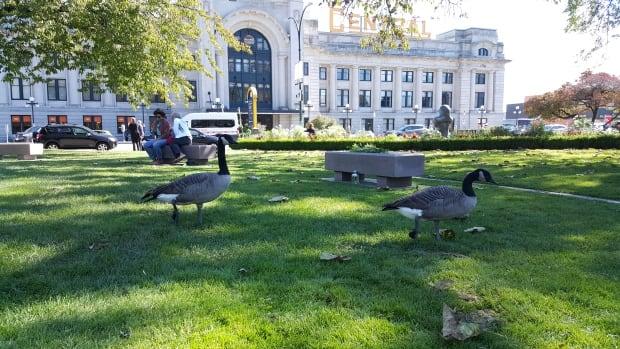 Geese at Thornton Park