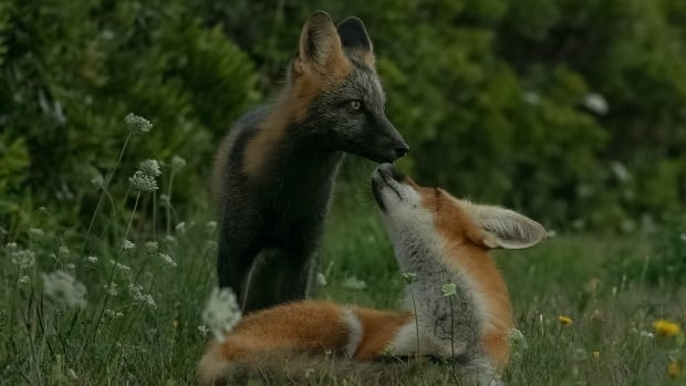 Foxes may be cute, but they are wild animals and shouldn't be fed.