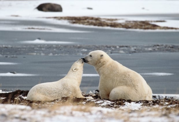 Polar bears in Hudson Bay