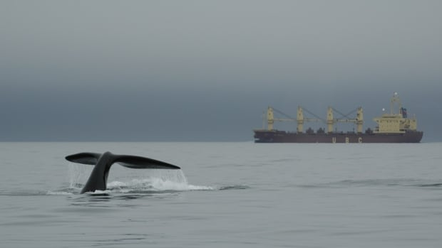 Scientists say the recovery of the North Atlantic right whale population is threatened by gear entanglements