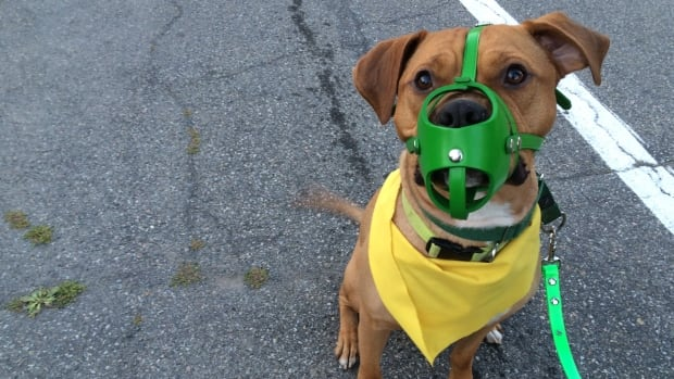 As part of Montreal's new dangerous dog bylaw, many dogs are now required to wear a muzzle in public.