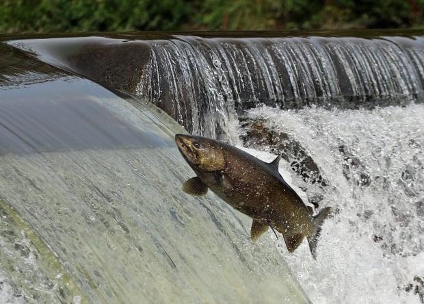 Salmon in Humber River