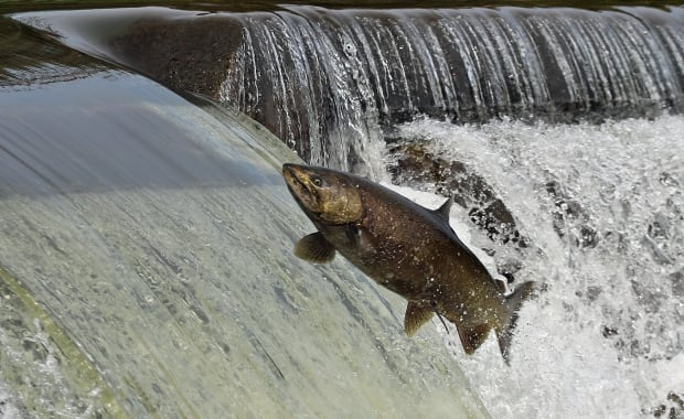 Salmon in Humber River