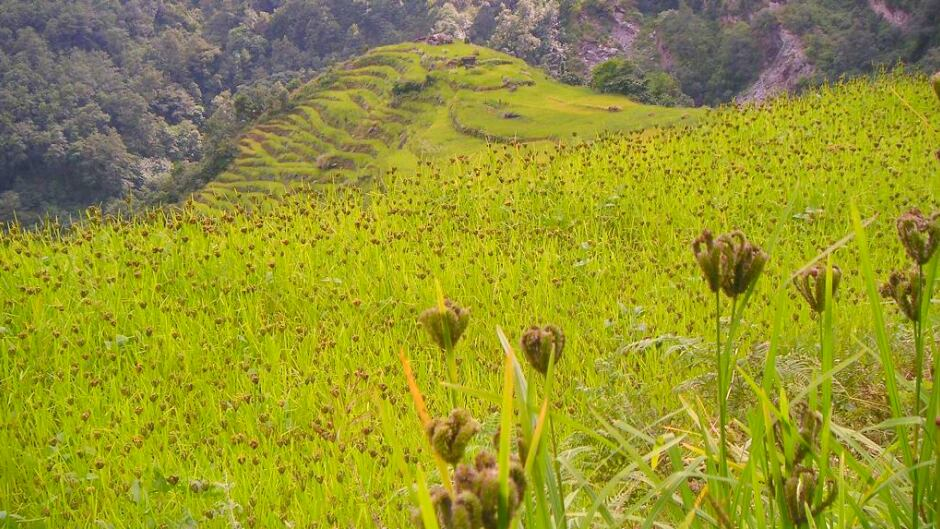 Fields of finger millet (Eleusine coracana) in the Annapurna-region of Nepal