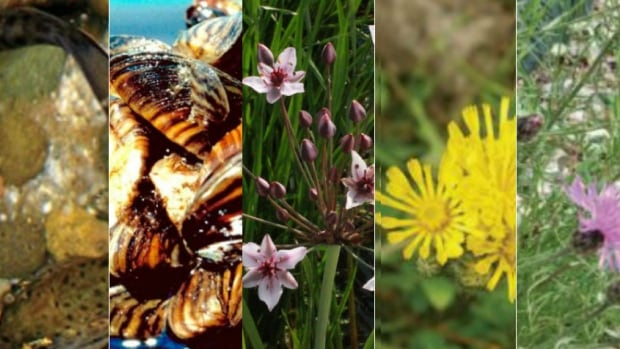 Alberta is grappling with dozens of invasive species, but five of the most concerning are: whirling fish disease, zebra and quagga mussels, flowering rush, hawkweed, and spotted knapweed.