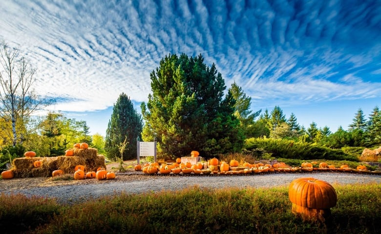 There will be about 3 500 pumpkins displayed at the grande - Botanic gardens pumpkin festival ...