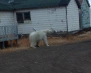 Polar bear in Tuk