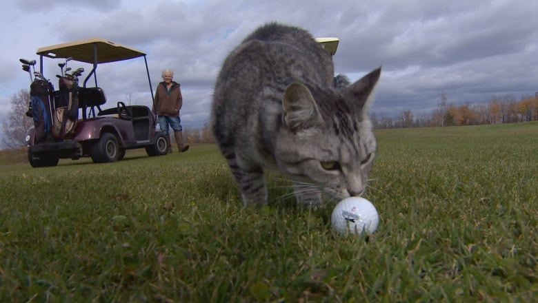 Caddy cat: stray tabby is the purrfect golf course companion