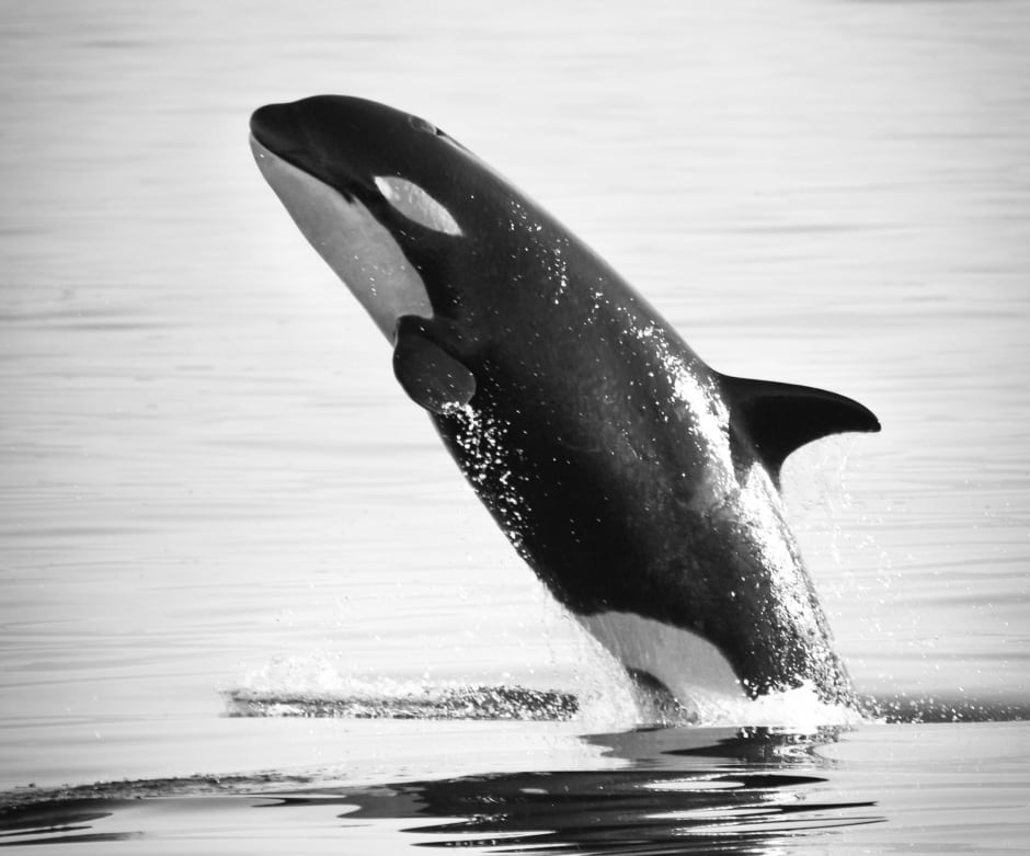 KILLER WHALE KIDS / L121. Photo by Naturalist/Capt Heather MacIn