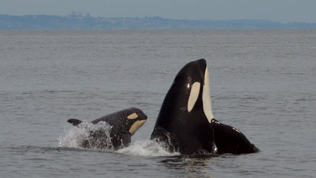 Southern resident killer whale J50 with J16 could soon have a quieter and safer place to forage for salmon if a U.S. petition for a whale protection zone near San Juan Island is successful.